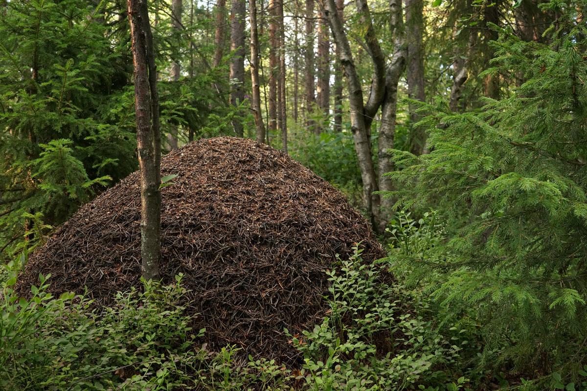 муравейник в лесу картинки целом барышском районе