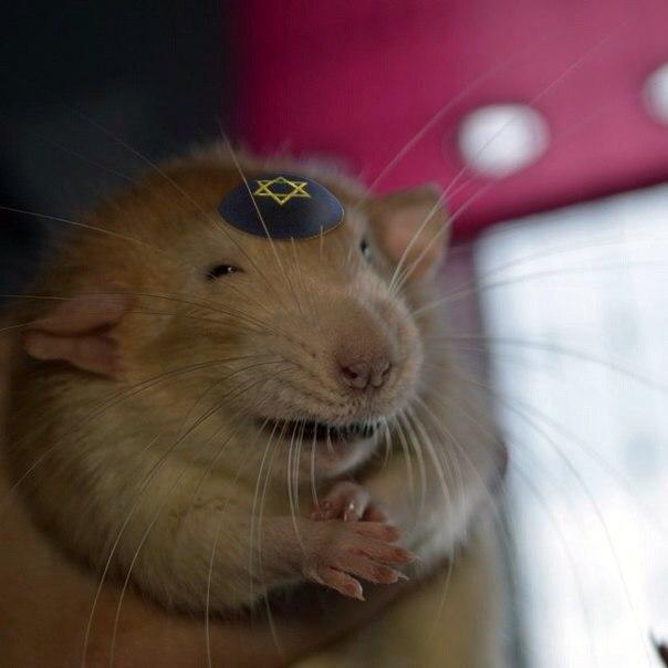 Фотографий, картинки приколы крысы