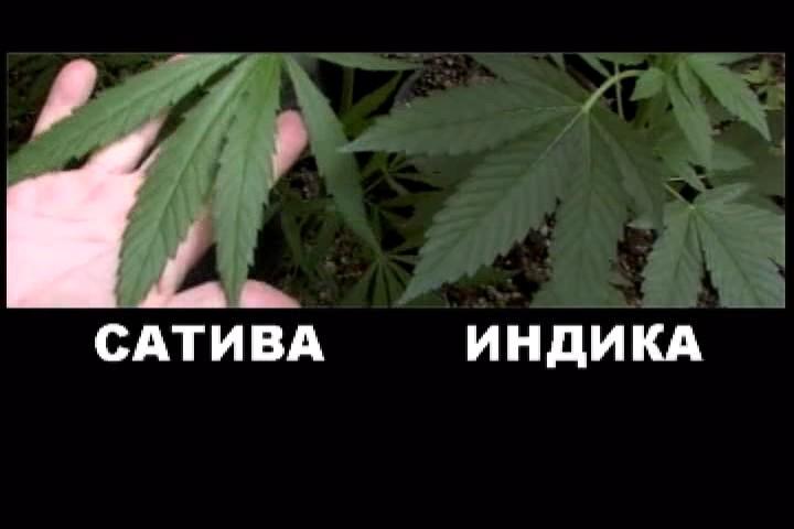 Разница конопля и марихуана марихуана и гомосексуализм