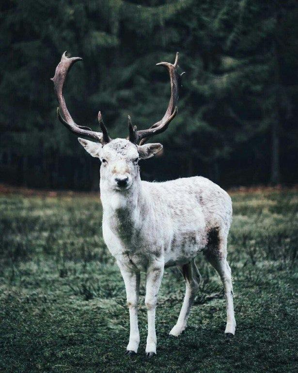 Белый олень картинки