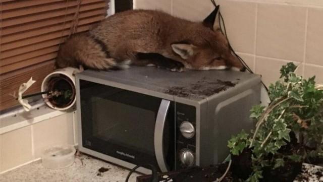 Когда неожиданно встретил лису. Люди делятся фотками