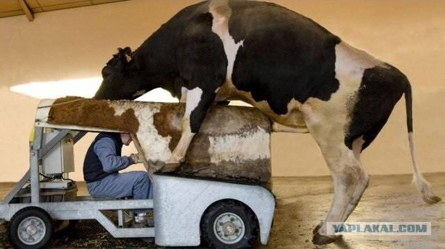 Сперма полтавских быков в донецке