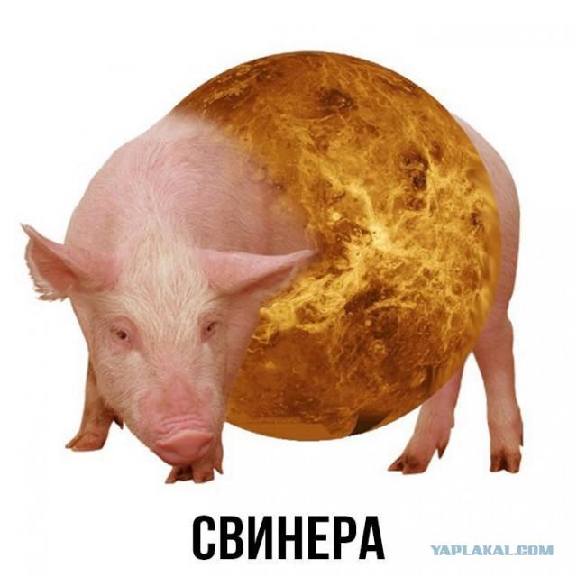 Фото свинеров