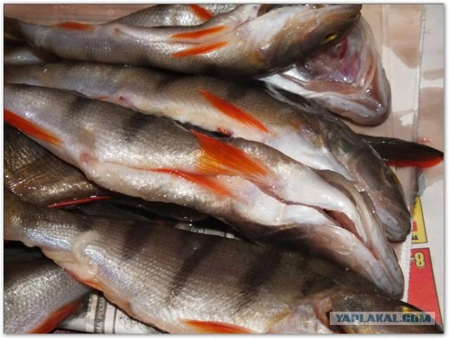 Вяленый окунь – рецепт приготовления вкусной рыбы дома