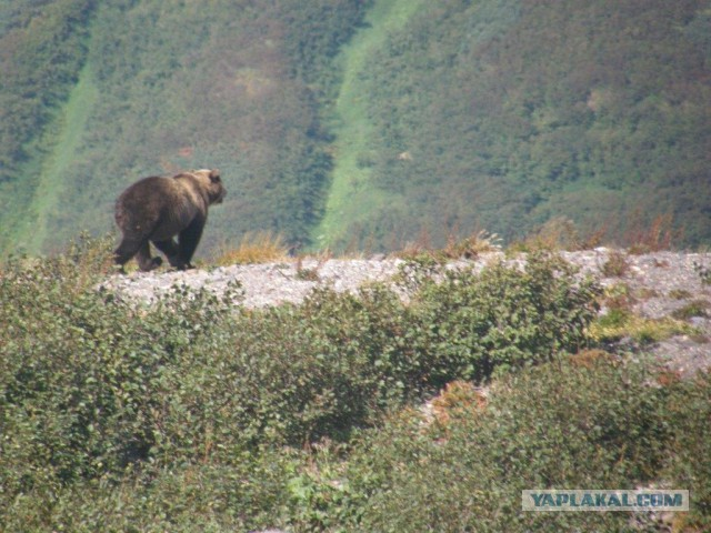 Про Камчатку - Как за мной гнался медведь.