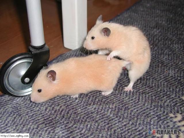 Крысы Трахаются