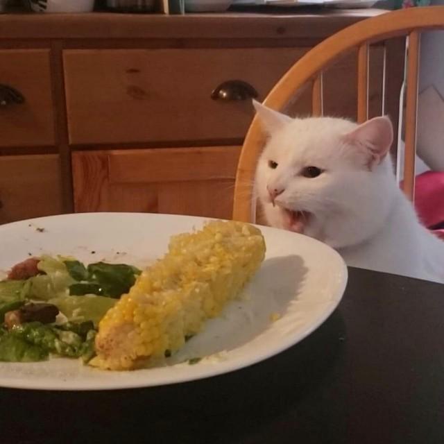 Мемный кот